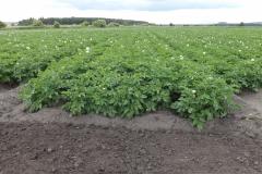 Pole s bramborami