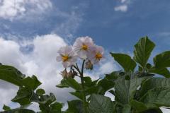 Brambory v květu